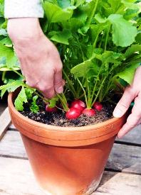 container-vegetable-gardening-radishes-1